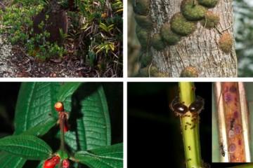 为了吃肉共生的蚂蚁竟然给植物拔毛