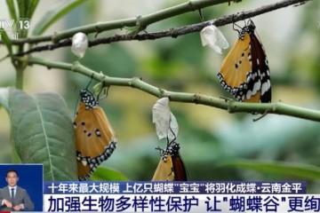 上亿只蝴蝶将在云南爆发北美某蝶见怪不怪